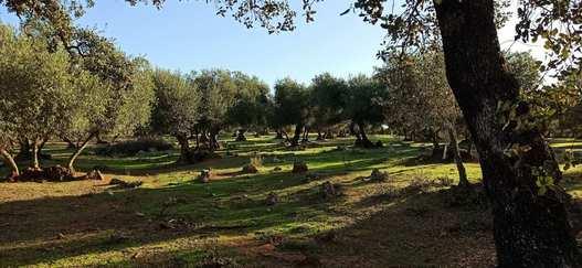 olivar adehesado