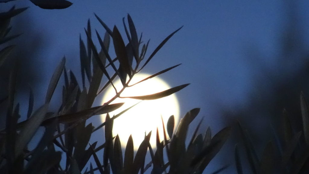 Moon rising behind olive leaves