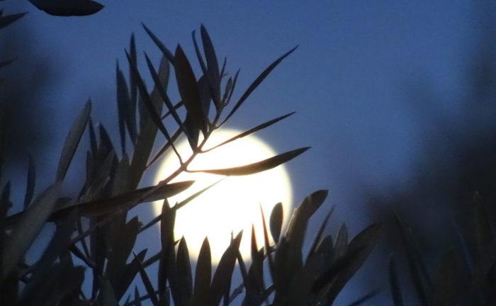 Luna saliendo tras hojas de olivo